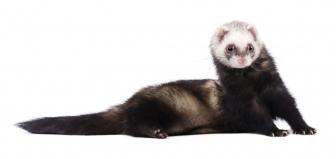 Πωλούνται ferret